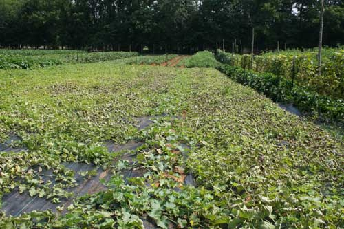 infected melon field