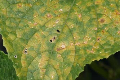 close-up of infected leaf