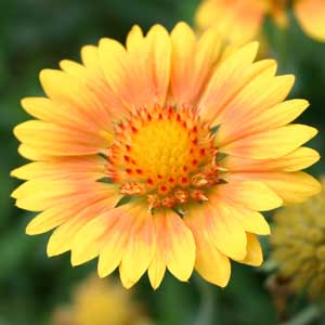 Gaillardia 'Oranges and Lemons'