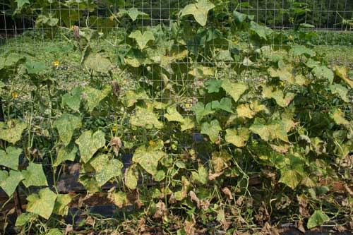 infected vines
