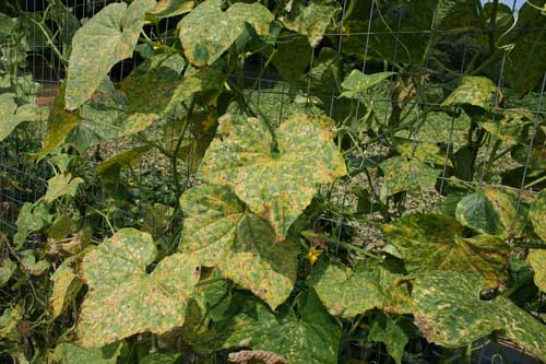 infected cucumber plants
