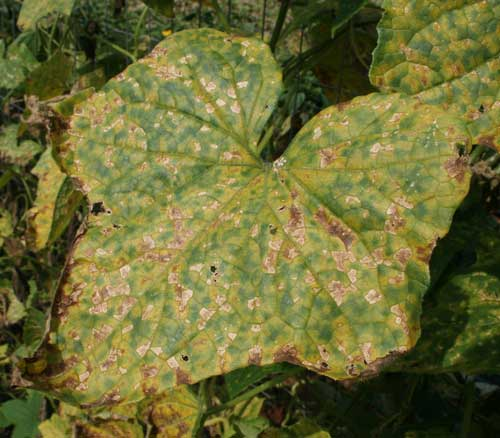 close-up of infected cucumber leaf