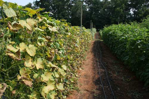 downy mildew on cucumber crop