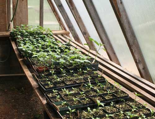 Transplants in greenhouse