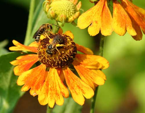 Bees on Helenium