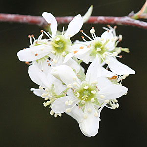 apple serviceberry