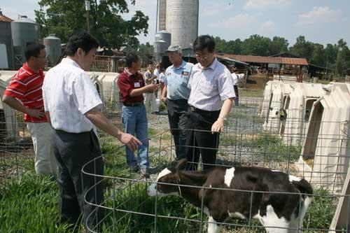 looking at calfs
