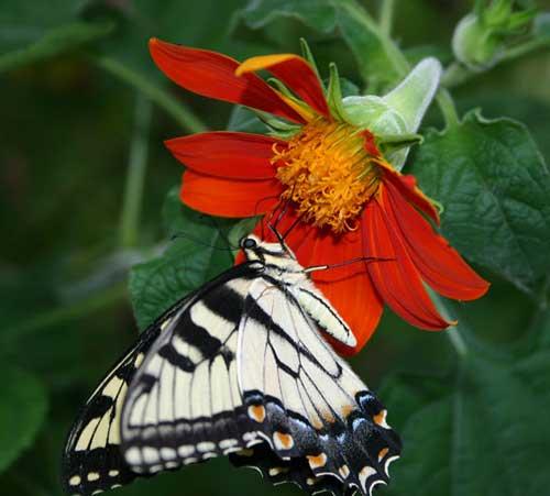 swallowtail on Tithonia