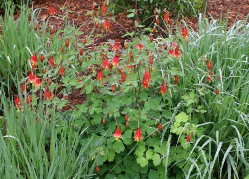 Eastern wild columbine (Aquilegia canadensis) with switchgrass (Panicum virgatum).