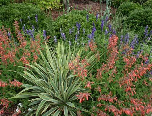 Yucca with Agastache and salvia.