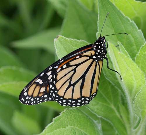 Monarch on black-eyed susan