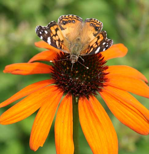 Painted lady butterfly on coneflower