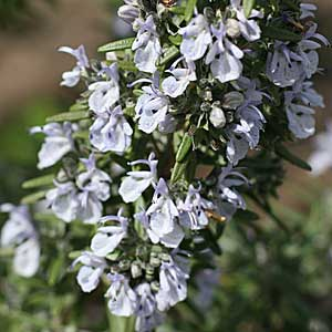 Rosmarinus officinalis 'Tuscan Blue