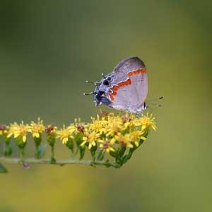hairstreak butterfly on goldenrod