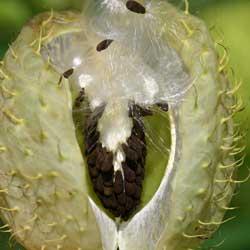 Asclepias seed pod