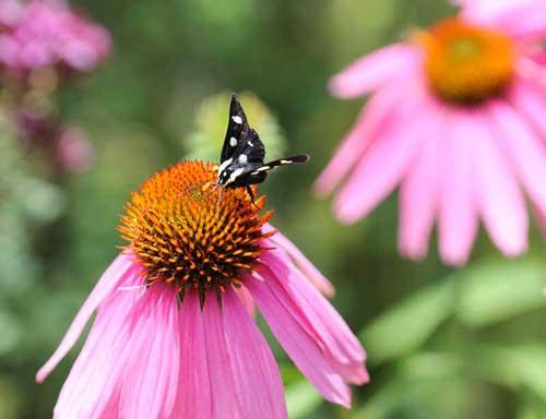 Moth on coneflower