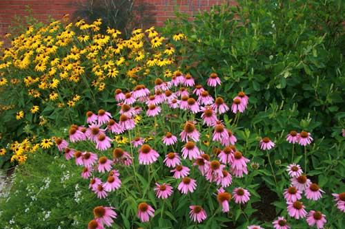 Orange coneflower, purple coneflower, mountain mint, sweet pepperbush