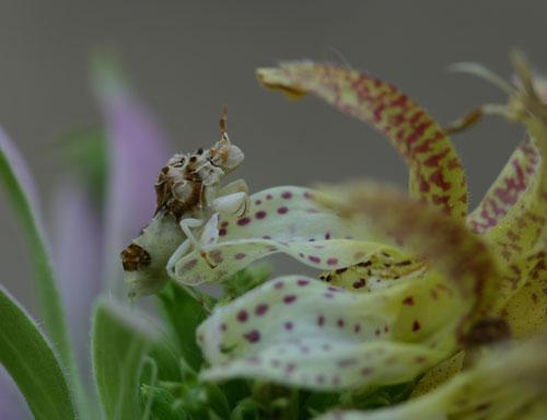 ambush bug on Monarda