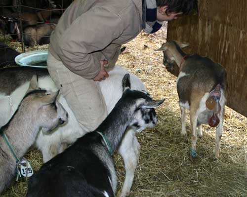 Whitney and goats watch