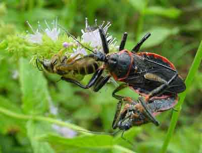 Mating bee assassin bugs with prey. Assassin bugs are general predators so  they sometimes consume beneficial insects!