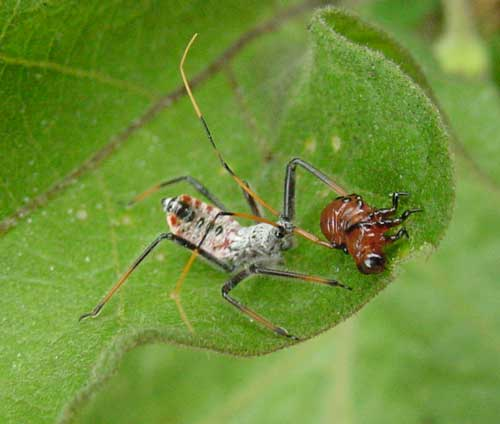 Side view of wheel bug nymph feeding on CPB larva.