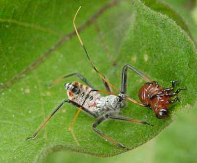 assassin bug feeding on Colorado potato beetle larva
