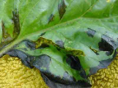 basil leaf spots