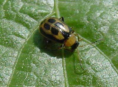 Bean leaf beetle