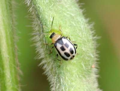 bean leaf beetle on edamame