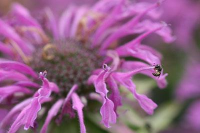 Tiny sweat bee on Monarda