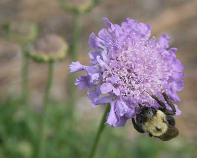 Bumble bee on pincushion flower (Scabiosa).