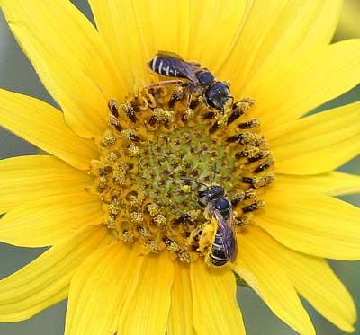 Halictid bees on Helianthus.