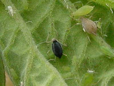 aphid parasitized by an Aphelind wasp; Aphelinidae typically form black mummies