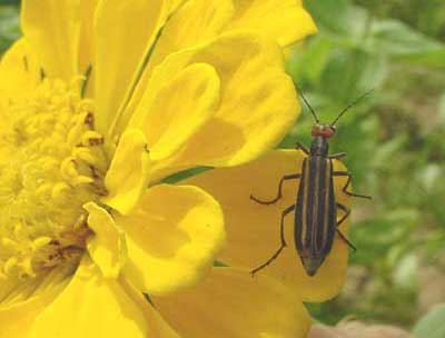 Striped blister beetle on zinnia