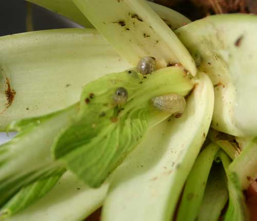 vegetable weevil larvae hiding in bok choi leaves