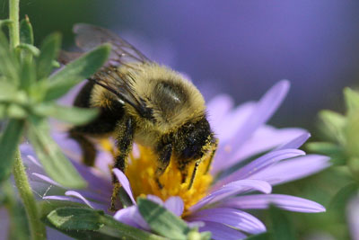 Bumble bee on aster.