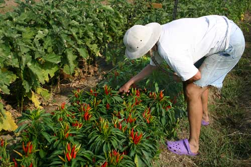 Cathy checks on a row of peppers; eggplant is shown at left