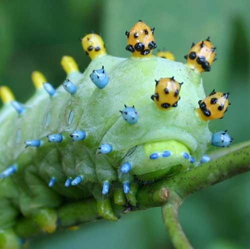 Cecropia caterpillar on sassafras