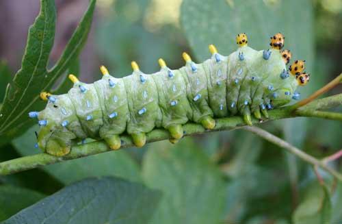 Cecropia moth larvae photos Hyalophora cecropia - Wikipedia