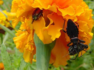 Close-up of assassin bug with Japanese beetle on marigold