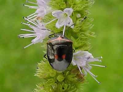 Cosmopepla stink bug