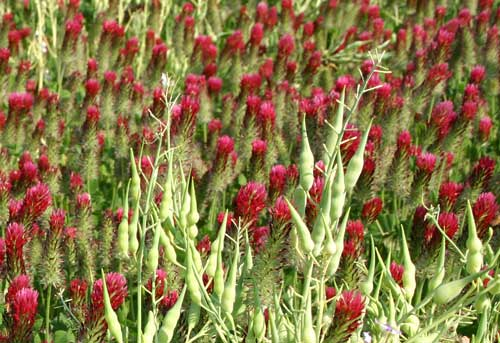 Close-up of forage radish seed pods and crimson clover