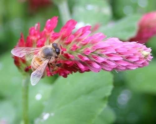 Honey bee foraging on crimson clover