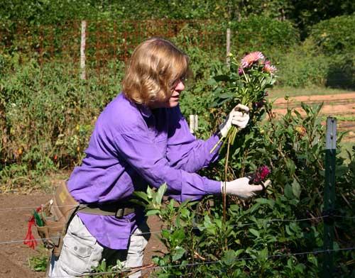 Judy Lessler harvests dahlias