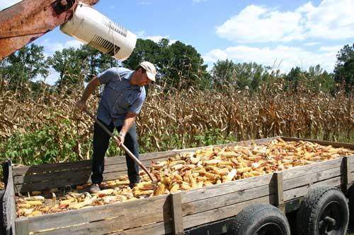 Daniel Logan makes room in the wagon for more corn
