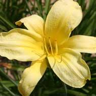 light yellow daylily