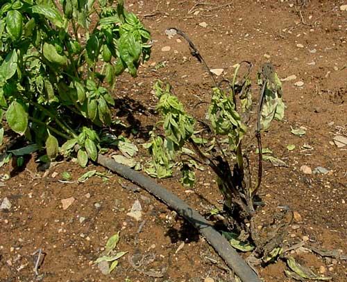 defoliated plant