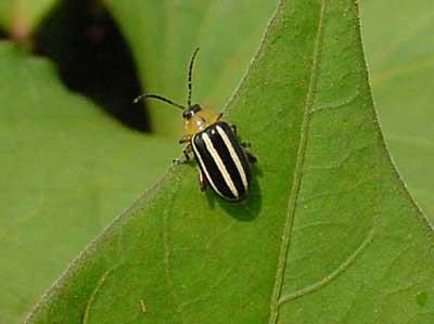 Disonychine flea beetle