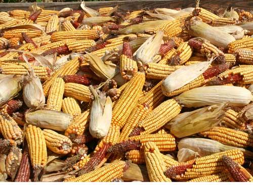 Wagon full of field corn