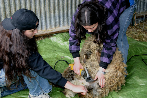 Tabitha and Sarah Fischer shear a sheep